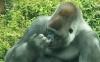 Gorilla som piller nese