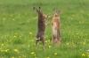 Harer som danser på to ben