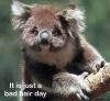Koala med hår i ørene