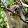 Koala som spiser middag