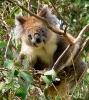 Koala mellom grenene