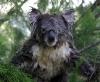 Våt koala i et tre