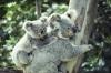 Koalamor og barn som klatrer