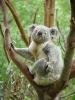 Koala som klør seg bak