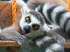Ringhalet lemur