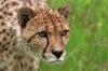 Trist leopard