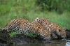 Leoparder som drikker