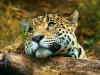 Leopard som dagdrømmer