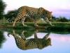 Leopard ved innsjøen