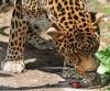 Leopard som slikker en mus