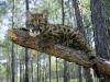 Leopardunge på en gren