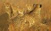 Leopardmor med barn