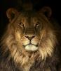Løvehode