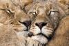 Løveklem