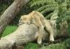 Lat løve på en gren