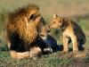 Løvefar og sønn