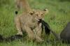 Løvebarn som biter i en hale