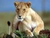 Løve som slapper av