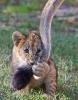 Løveunge som biter i mors hale