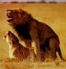 Løve-sex, hundestil