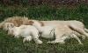 Løver som slapper av i gresset