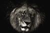 Løvehode sort/hvit