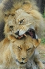 Lion male eats his bride