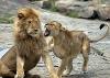 Løvedame som kjefter på mannen