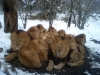 Lion pack in snow