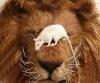 Løve som blir tråkket på