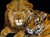 Lion and tiger as good friends