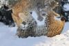 Gauper som leker i snøen