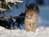 Gaupe på tur i snøen