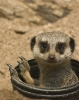 Meerkat peeking from a tube