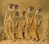 Meerkat pack watching you