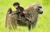 Baboon child riding on mom