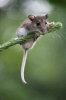 Mouse on a pine twig