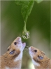 Mice drinking a water drop