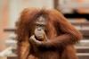 Orangutang pondering