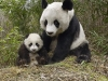 Panda mom with child