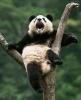 Panda in tree