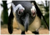 Curious pinguin