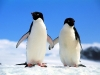Pinguin couple holding hands