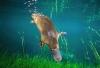 Platypus under water