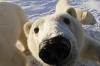 Curious polarbear