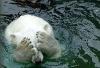 Isbjørn som gjemmer øynene