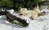 Isbjørn som bader i snøen