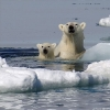 Polar bears taking a bath