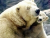 Polar bear mom with child