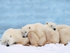 Polar bears snoozing